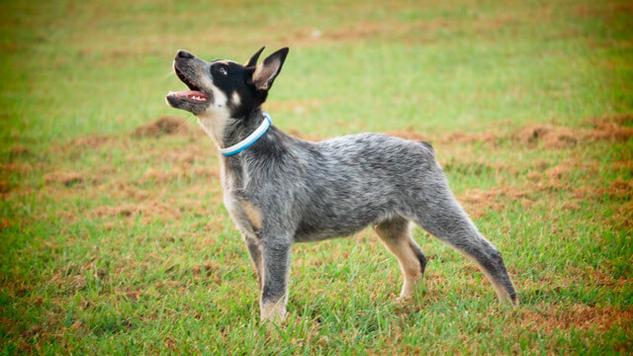Are Blue Heeler dogs good pets?