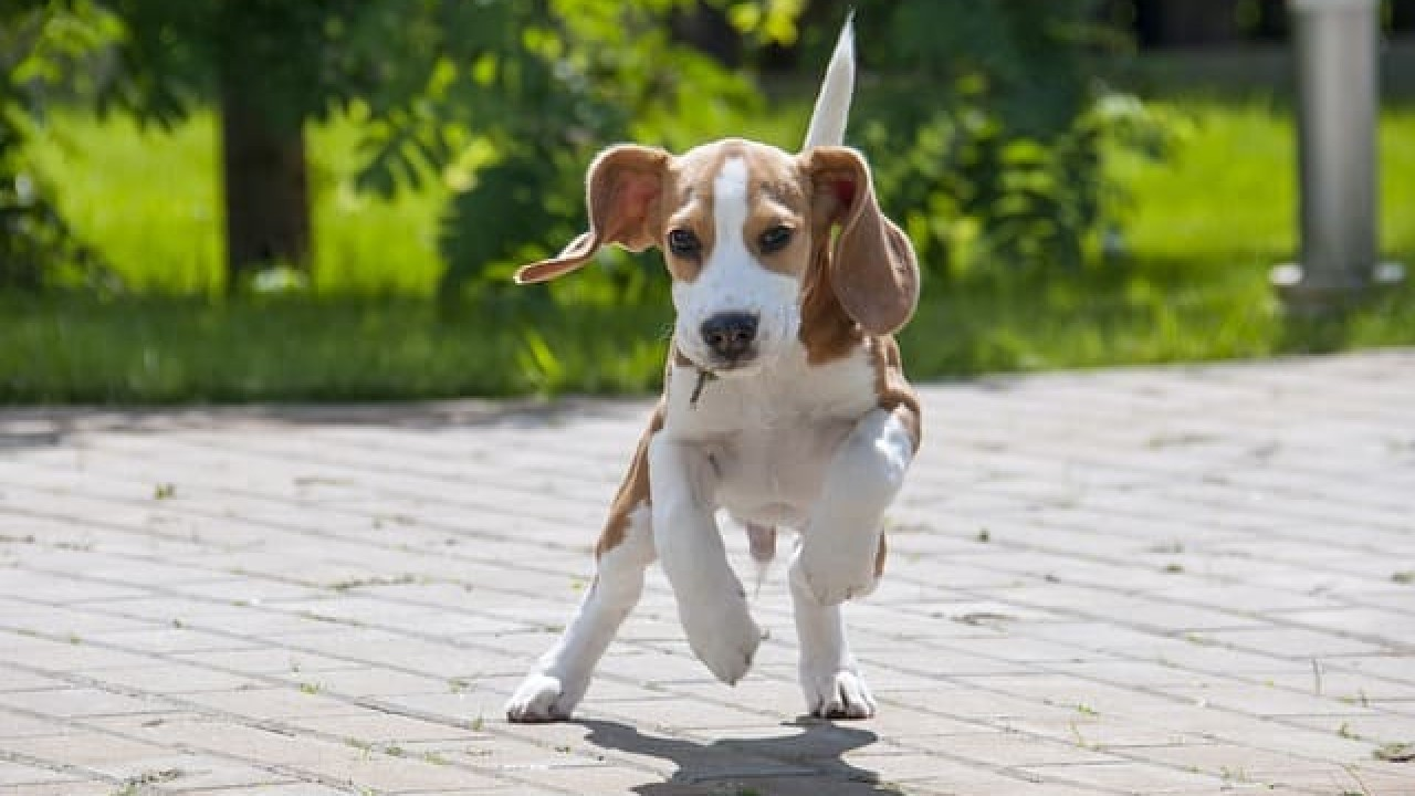 Find out if the Beagle is the right breed for you