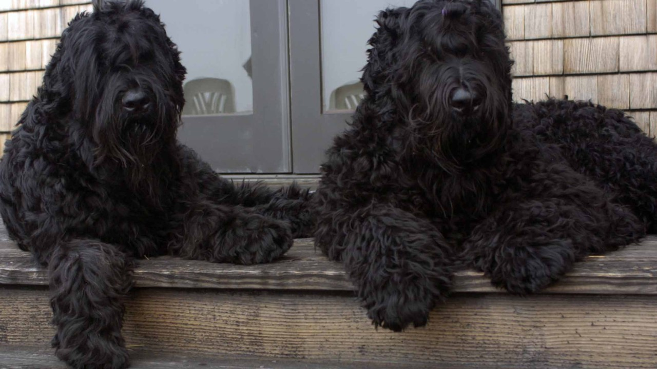 Meet the Black Pearl of Russia - Black Russian Terrier