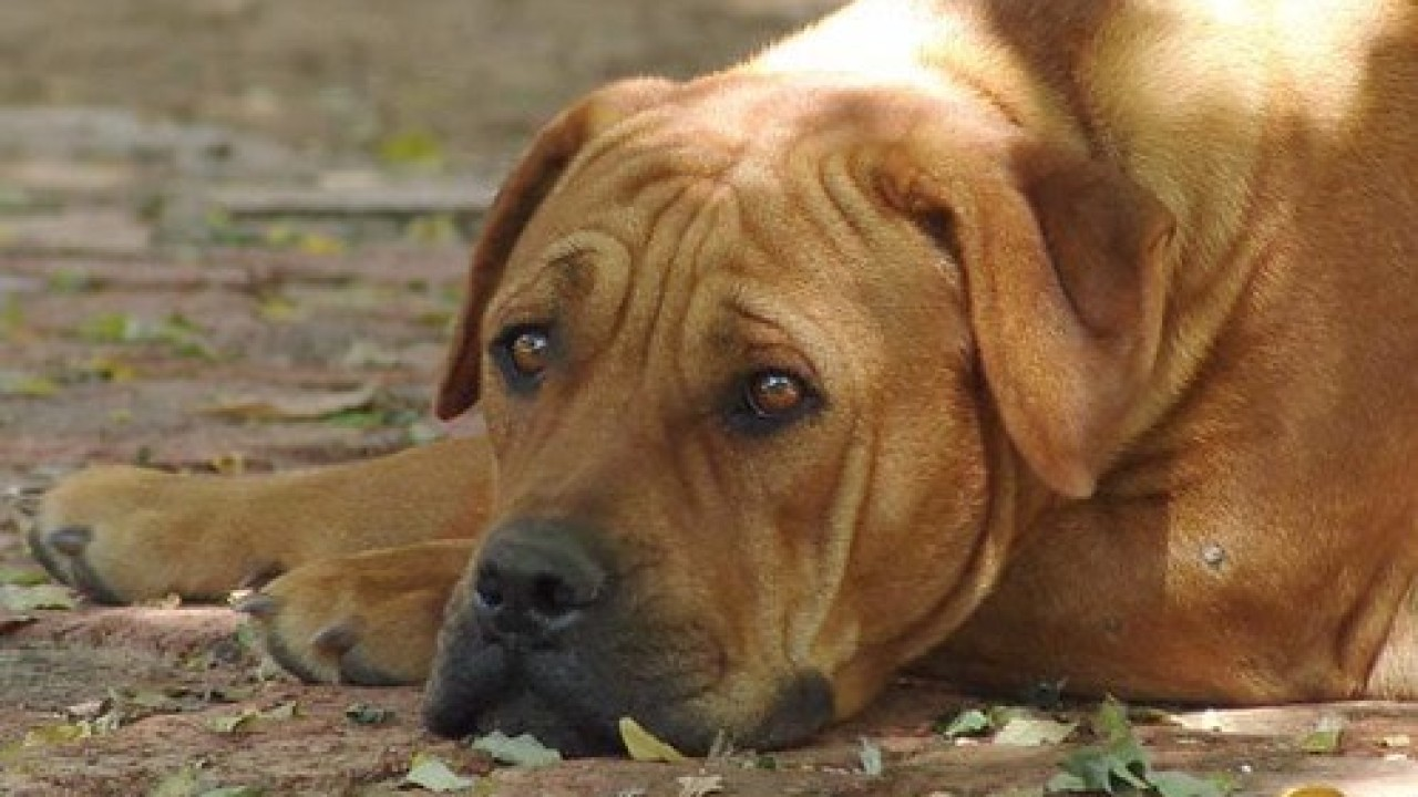 The Boerboel