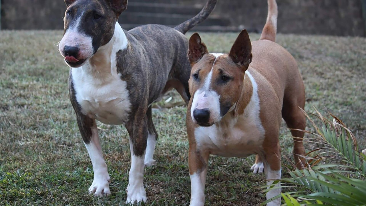 The Bull Terrier breed - facts and characteristics