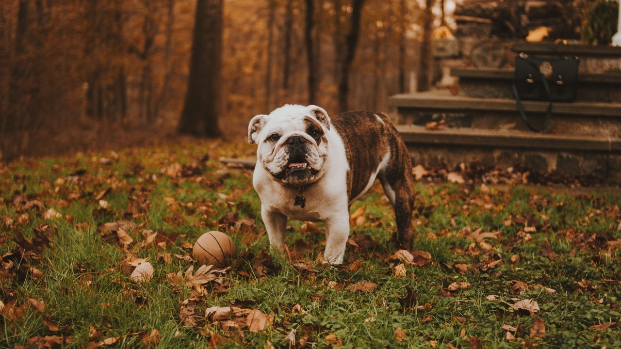 Find out why the Bulldog could be the right dog for you