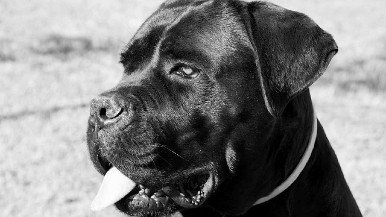 Cane Corso Dangerous Breed Or Family Pet