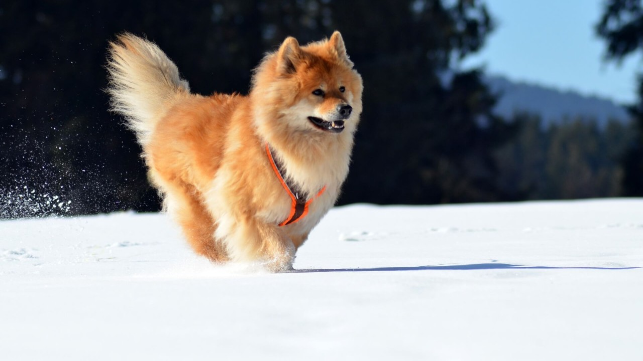 Eurasier - Characteristics of this relatively unknown dog breed