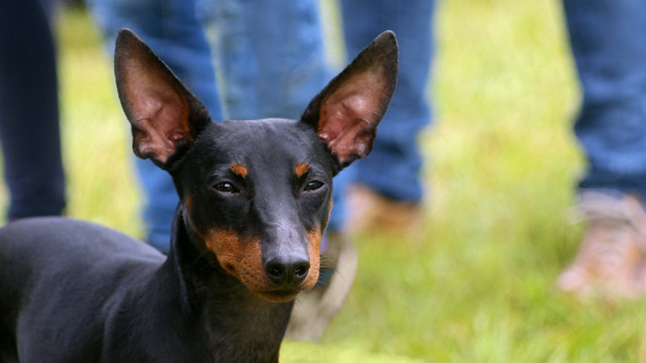 The Manchester Terrier