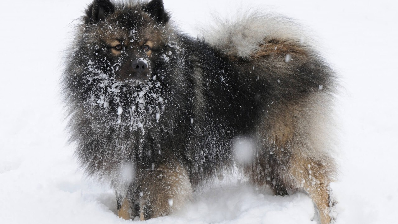 The Keeshond - little but excellent guard dog