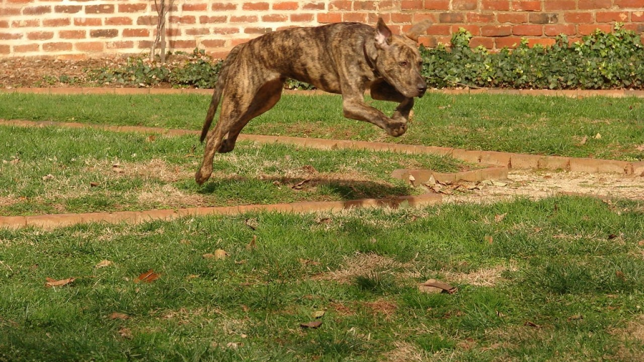 Interesting facts about the Plott Hound breed