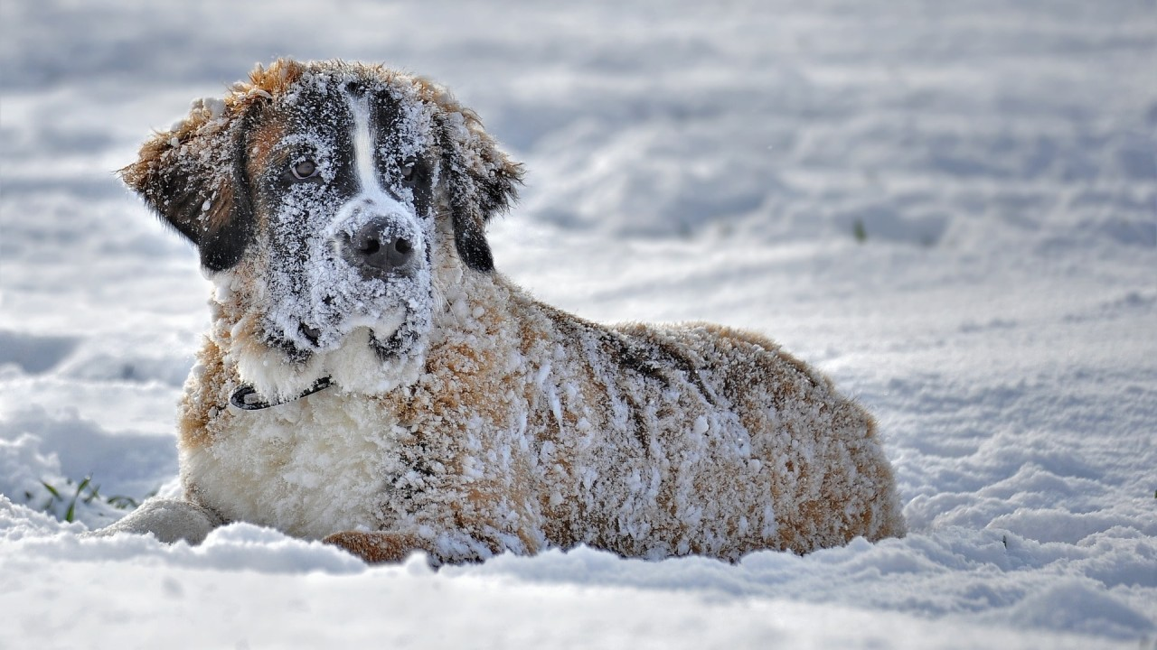 Find out why is the Saint Bernard dog also called the gentle giant