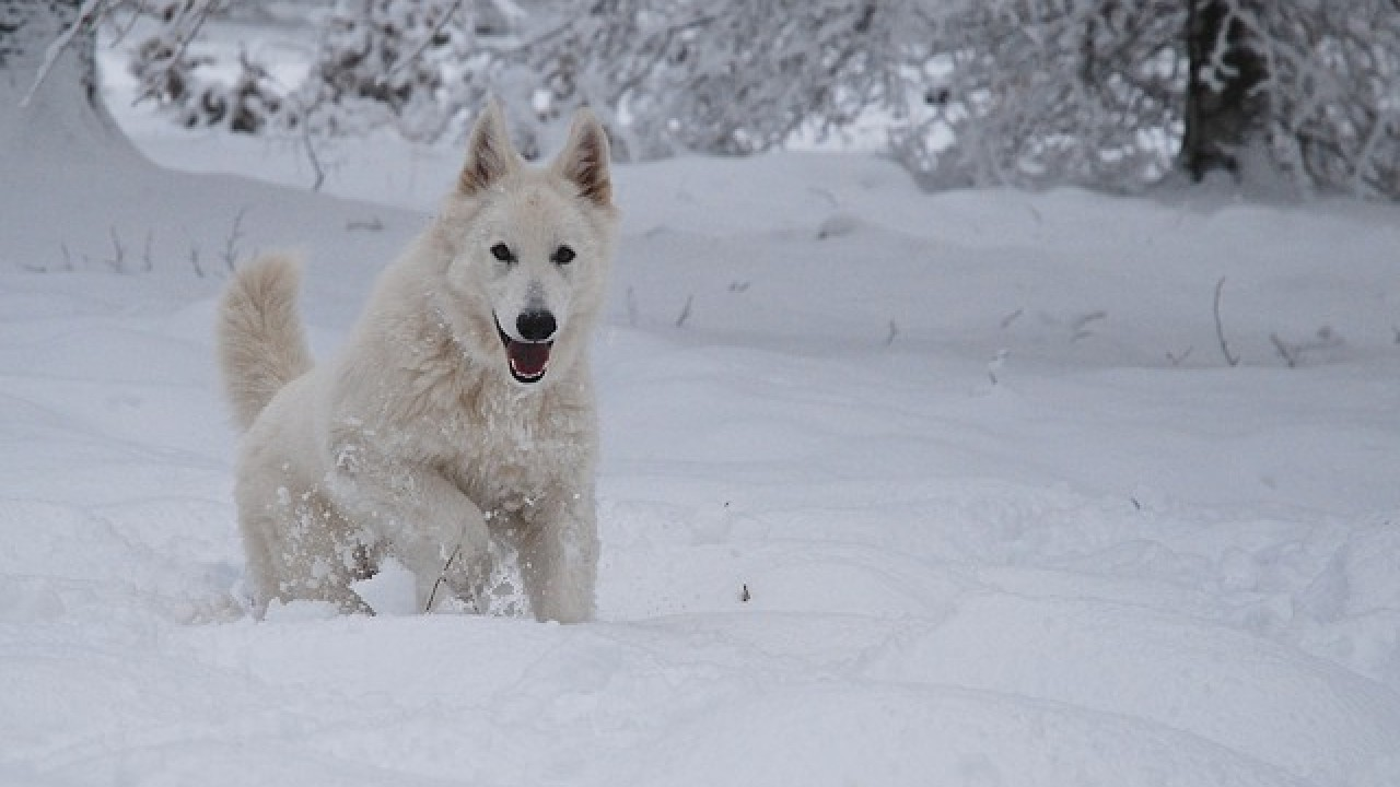 The Swiss White Shepherd Dog