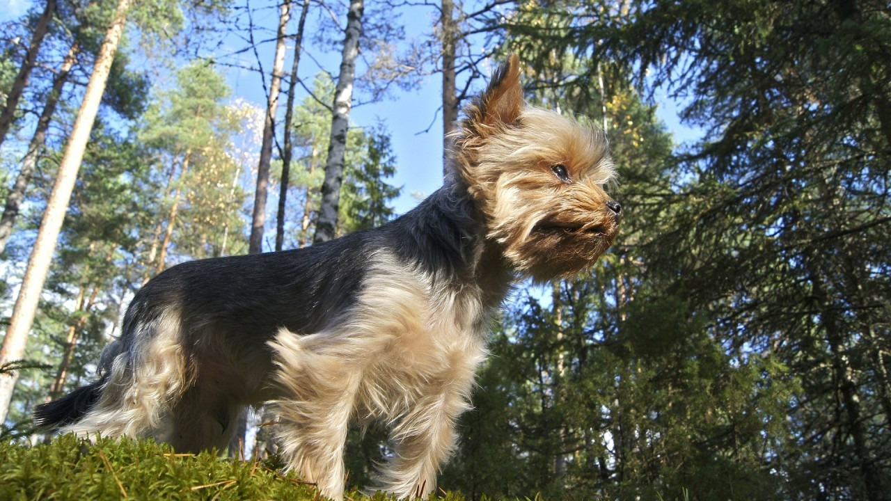 The Yorkshire Terrier - tiny dog with big personality