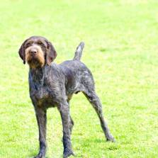 German Rough-haired Pointer