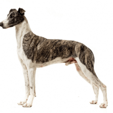 Hungarian Greyhound