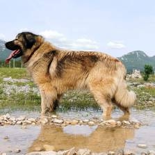 Yugoslavian Shepherd Dog - Sharplanina