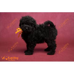 Puppies Puli 2020_6