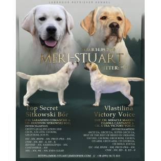 Secret & Varya. Yellow puppies labrador retriever