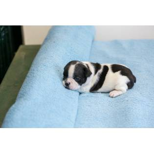 Bulldog from Semendria Bonnie Bella