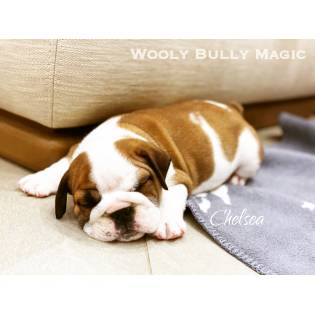 "Cooper (Litter ""C"") Wooly Bully Magic"