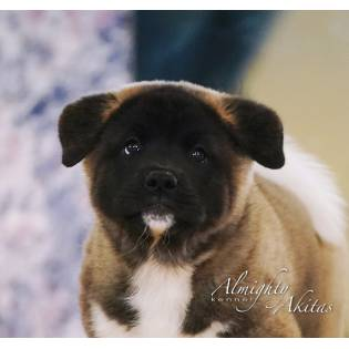 "ALMIGHTY AKITAS LITTER ""H"""