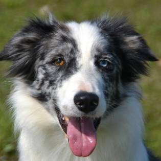 Askka Bardick Magick Border Collies
