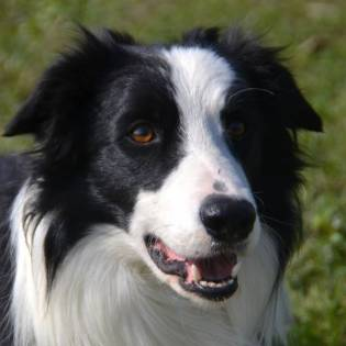 Attila Bardick Magick Border Collies