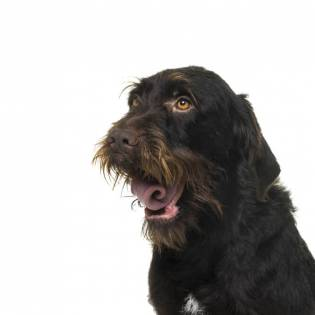 Bohemian Wirehaired Pointing Griffon