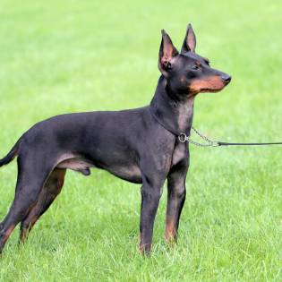 English Toy Terrier (English Black-and-Tan Terrier)