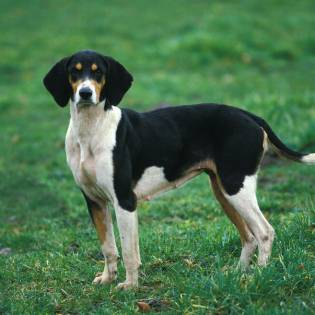 Large Anglo-French Tricolour Hound
