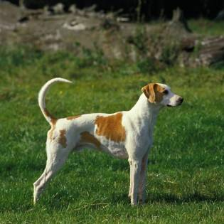 Large Anglo-French White and Orange Hound