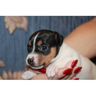 Toy Fox Terrier A Vendre