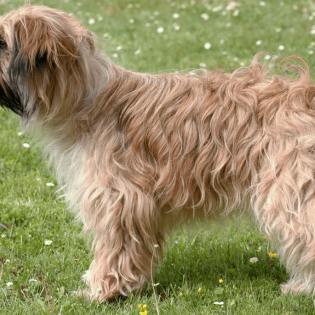 Pyrenean Sheepdog, Longhaired