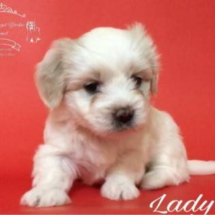 Lady D Blue Angel Yorkie