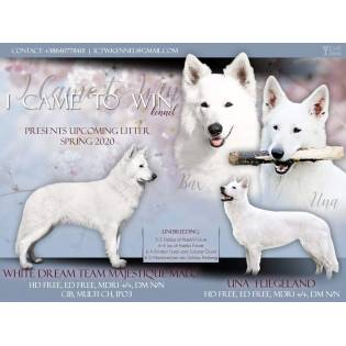 """""""D"""" litter I Came to Win Kennel (White Swiss Shepherd)"""