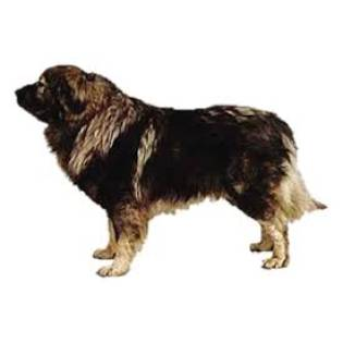 Yugoslavian Shepherd Dog (Sharplanina)