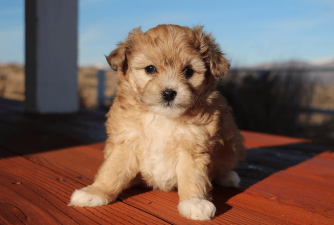 Is Aussiedoodle Right Choice for You?