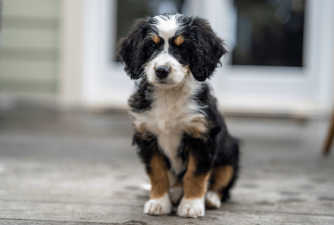 13 Fun Facts About Bernedoodles