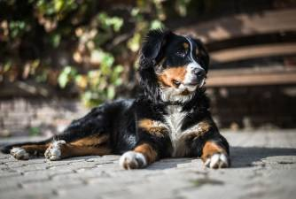 Bernese Mountain Dog: Different Perspective