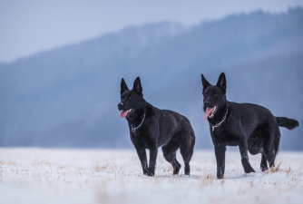 Black German Shepherd - Rare Dark Diamond