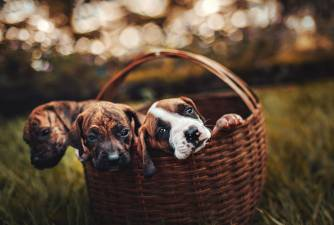 Buying a Dog From a Breeder - Guide