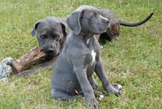 Cane Corso - History of the Roman Dog of War