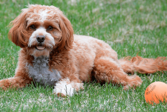 Cavapoo - Fun Facts You Didn't Know