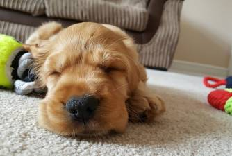 How Much do Puppies Sleep?