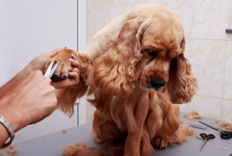 How to Prepare Your Dog For a Groomer?