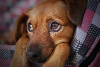 Anemia in Dogs - How to Help Your Dog?