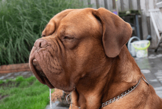 Excessive Drooling in Dogs - What it Means