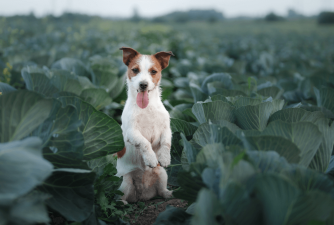 Can Dogs Eat Cabbage?