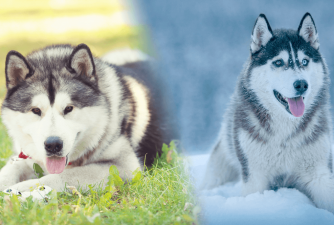 Malamute vs Husky - What Is Your Choice?