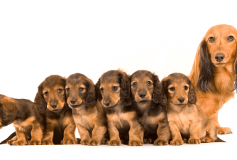 How Many Puppies Can a Dog Have?