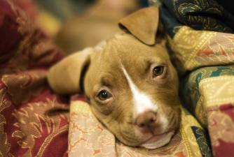 Best Dog Food for Pit Bulls [2021 Guide]