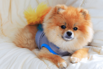 Pomeranian From a Different Perspective