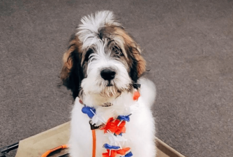 Saint Berdoodle - What New Owners Need to Know